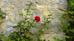 mur w ogrodzie róża kwiaty