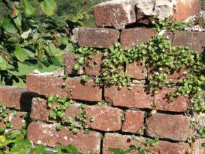 mur z ceguły obrośnięty roślinami
